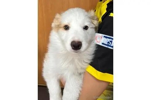 ボーダーコリーの子犬(ID:1242011136)の1枚目の写真/更新日:2020-01-17