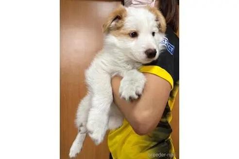 ボーダーコリーの子犬(ID:1242011136)の2枚目の写真/更新日:2020-01-17
