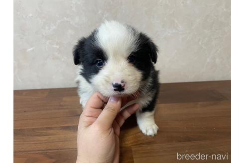 ボーダーコリーの子犬(ID:1242011138)の1枚目の写真/更新日:2021-02-16