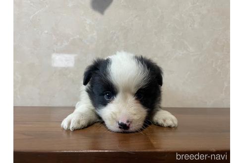 ボーダーコリーの子犬(ID:1242011138)の2枚目の写真/更新日:2021-02-16
