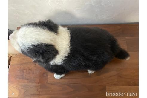 ボーダーコリーの子犬(ID:1242011138)の3枚目の写真/更新日:2021-02-16