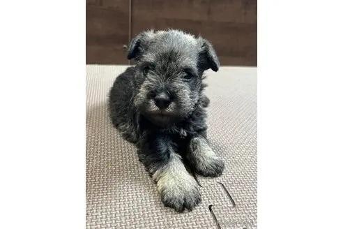 ミニチュアシュナウザーの子犬(ID:1242011139)の2枚目の写真/更新日:2017-04-21