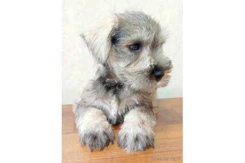 ミニチュアシュナウザーの子犬(ID:1242011139)の3枚目の写真/更新日:2017-04-21