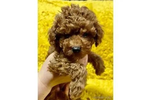 トイプードルの子犬(ID:1242011141)の1枚目の写真/更新日:2017-04-26