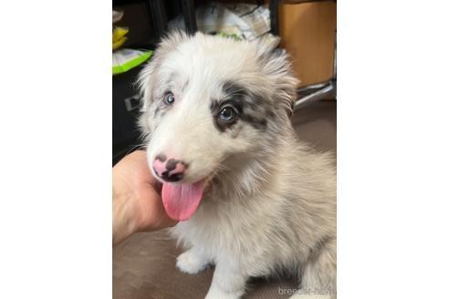 ボーダーコリーの子犬(ID:1242011142)の1枚目の写真/更新日:2019-11-27