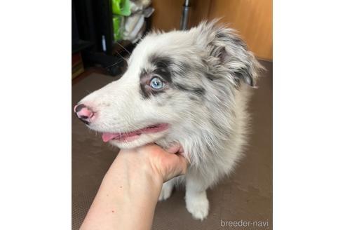 ボーダーコリーの子犬(ID:1242011142)の2枚目の写真/更新日:2019-11-27