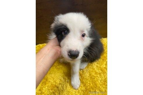 ボーダーコリーの子犬(ID:1242011147)の2枚目の写真/更新日:2020-01-17