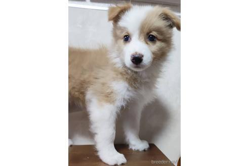 ボーダーコリーの子犬(ID:1242011148)の1枚目の写真/更新日:2021-07-16