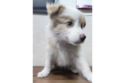 ボーダーコリーの子犬(ID:1242011148)の2枚目の写真/更新日:2017-08-10