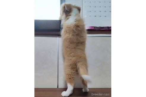 ボーダーコリーの子犬(ID:1242011148)の3枚目の写真/更新日:2021-07-16