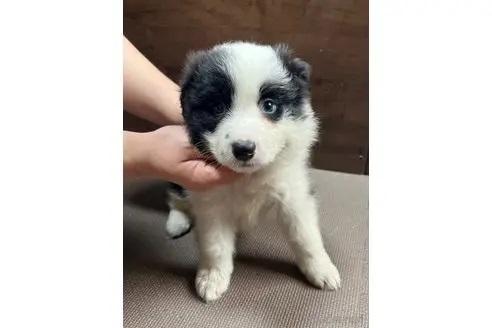ボーダーコリーの子犬(ID:1242011149)の1枚目の写真/更新日:2021-07-13