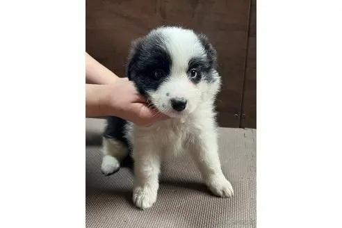 ボーダーコリーの子犬(ID:1242011149)の2枚目の写真/更新日:2017-10-22