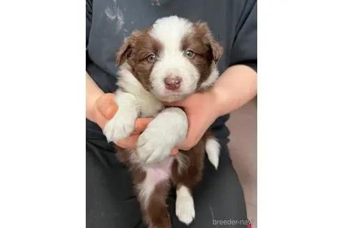 ボーダーコリーの子犬(ID:1242011151)の1枚目の写真/更新日:2020-02-18