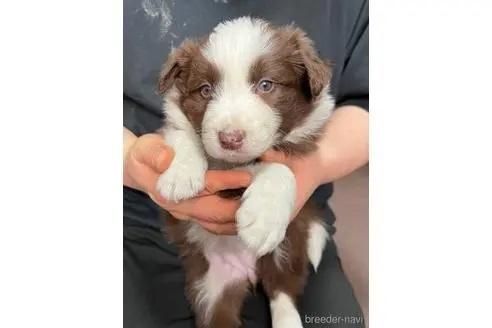 ボーダーコリーの子犬(ID:1242011151)の2枚目の写真/更新日:2020-02-18