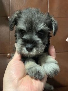 ミニチュアシュナウザーの子犬(ID:1242011154)の1枚目の写真/更新日:2020-03-17