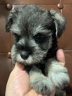 ミニチュアシュナウザーの子犬(ID:1242011154)の2枚目の写真/更新日:2017-10-22