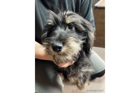 ミニチュアシュナウザーの子犬(ID:1242011157)の2枚目の写真/更新日:2017-10-22
