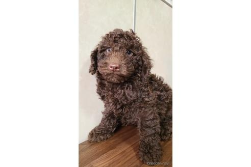 トイプードルの子犬(ID:1242011158)の1枚目の写真/更新日:2021-01-19