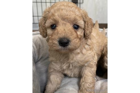 トイプードルの子犬(ID:1242011159)の1枚目の写真/更新日:2021-10-01