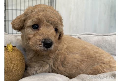 トイプードルの子犬(ID:1242011159)の3枚目の写真/更新日:2021-10-01