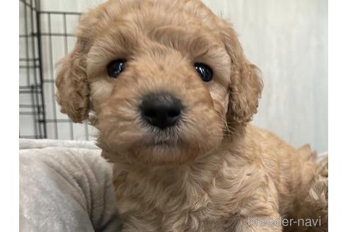 トイプードルの子犬(ID:1242011159)の4枚目の写真/更新日:2021-10-01