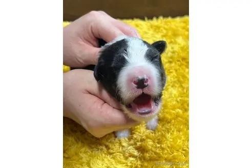 ボーダーコリーの子犬(ID:1242011160)の1枚目の写真/更新日:2017-11-01