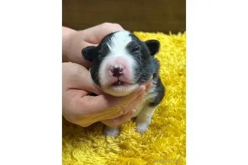 ボーダーコリーの子犬(ID:1242011160)の3枚目の写真/更新日:2017-11-01