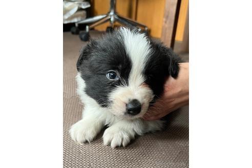 ボーダーコリーの子犬(ID:1242011162)の1枚目の写真/更新日:2017-11-01