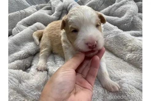 ボーダーコリーの子犬(ID:1242011163)の1枚目の写真/更新日:2020-03-30