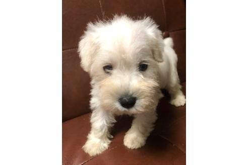 ミニチュアシュナウザーの子犬(ID:1242011164)の1枚目の写真/更新日:2018-04-09