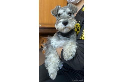 ミニチュアシュナウザーの子犬(ID:1242011165)の1枚目の写真/更新日:2021-05-25