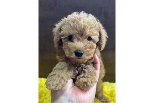 トイプードルの子犬(ID:1242011167)の1枚目の写真/更新日:2018-03-17