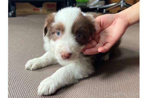 ボーダーコリーの子犬(ID:1242011169)の1枚目の写真/更新日:2018-04-13