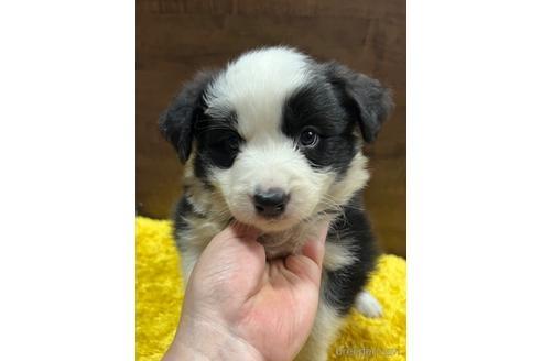 ボーダーコリーの子犬(ID:1242011172)の1枚目の写真/更新日:2018-04-13