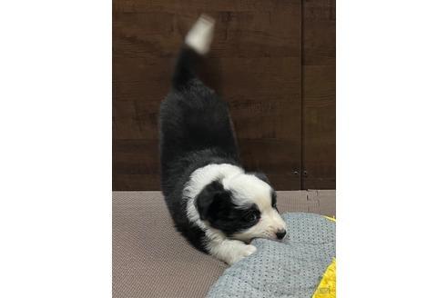 ボーダーコリーの子犬(ID:1242011172)の2枚目の写真/更新日:2018-04-13