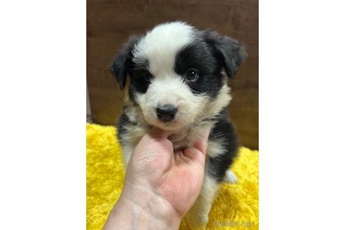 ボーダーコリーの子犬(ID:1242011172)の3枚目の写真/更新日:2020-04-08