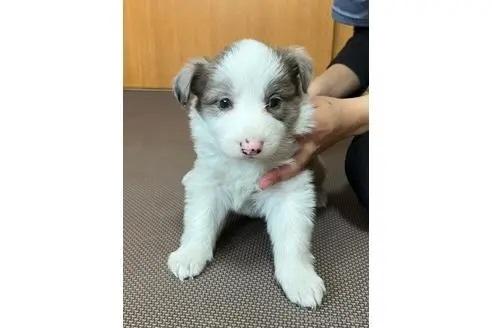 ボーダーコリーの子犬(ID:1242011175)の1枚目の写真/更新日:2018-04-13