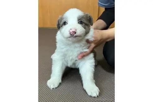 ボーダーコリーの子犬(ID:1242011175)の2枚目の写真/更新日:2018-04-13