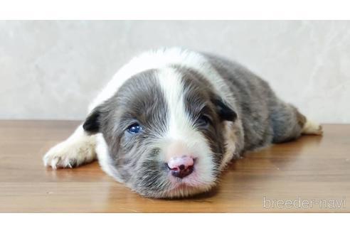 ボーダーコリーの子犬(ID:1242011177)の1枚目の写真/更新日:2018-04-13