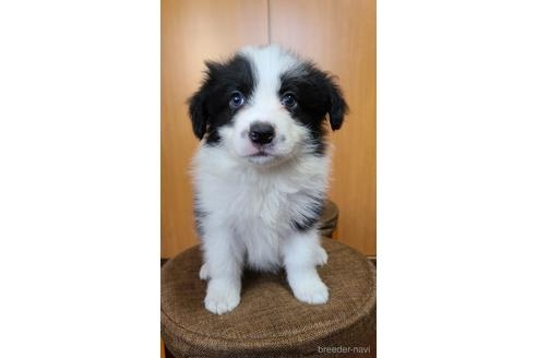 ボーダーコリーの子犬(ID:1242011178)の3枚目の写真/更新日:2021-02-16