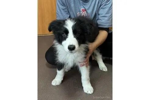 ボーダーコリーの子犬(ID:1242011179)の1枚目の写真/更新日:2018-10-26