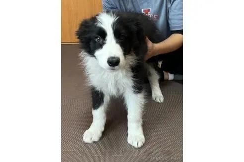 ボーダーコリーの子犬(ID:1242011179)の2枚目の写真/更新日:2018-10-26