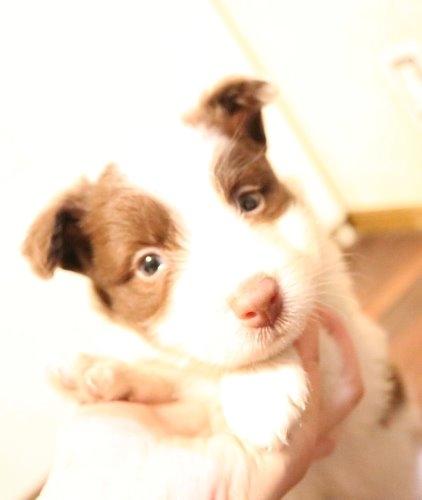 ボーダーコリーの子犬(ID:1242011183)の1枚目の写真/更新日:2019-10-27