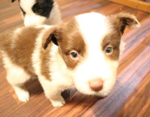 ボーダーコリーの子犬(ID:1242011183)の2枚目の写真/更新日:2019-10-27