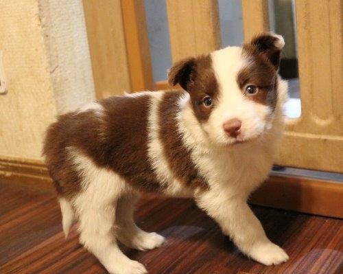 ボーダーコリーの子犬(ID:1242011183)の3枚目の写真/更新日:2019-10-27