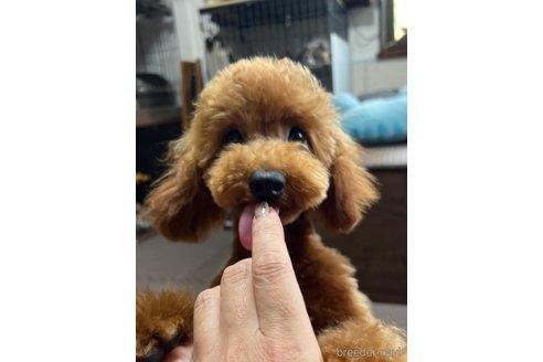 トイプードルの子犬(ID:1242011185)の1枚目の写真/更新日:2021-03-17
