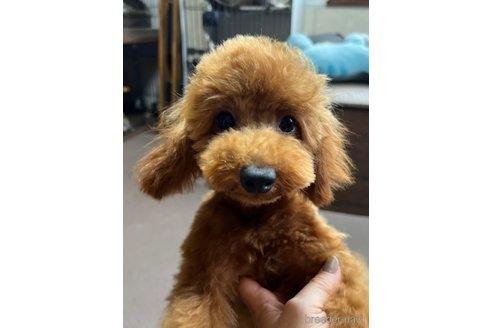 トイプードルの子犬(ID:1242011185)の2枚目の写真/更新日:2021-03-17