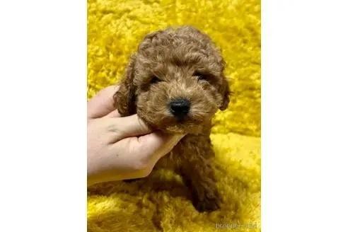 トイプードルの子犬(ID:1242011189)の1枚目の写真/更新日:2020-03-30