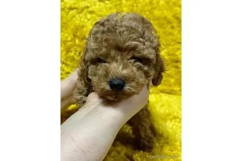 トイプードルの子犬(ID:1242011189)の2枚目の写真/更新日:2021-10-01