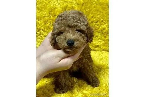 トイプードルの子犬(ID:1242011189)の3枚目の写真/更新日:2021-10-01